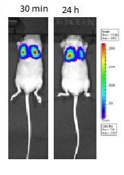 <em>in vivo</em>-jetPEI - Complexe stability