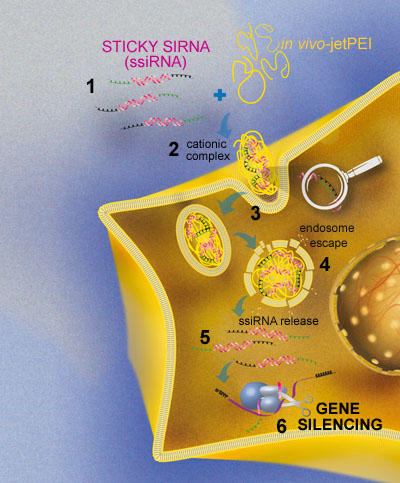 STICKY SIRNA Delivery Mechanism