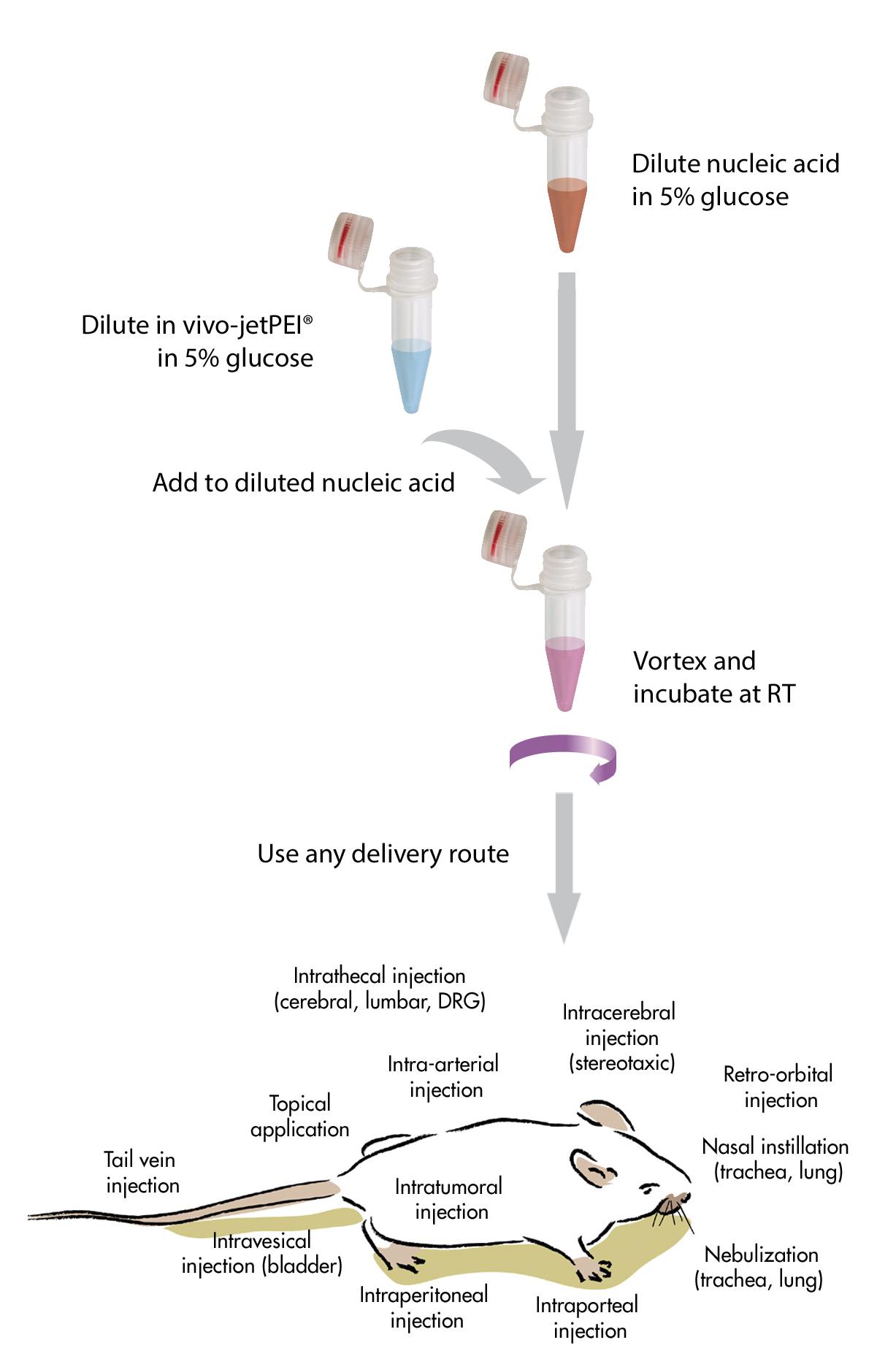 in vivo-jetPEI - Protocol