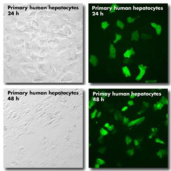 jetPEI hepatocyte - primary human hepatocytes