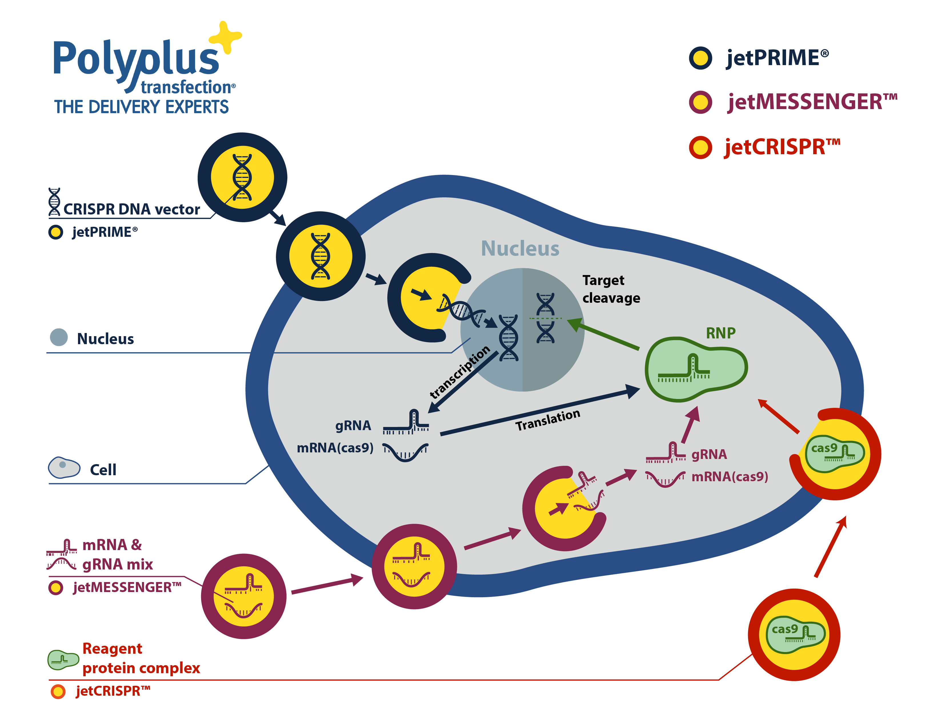 Fig. 6: Polyplus-transfection - Product range for CRSIPR experiment