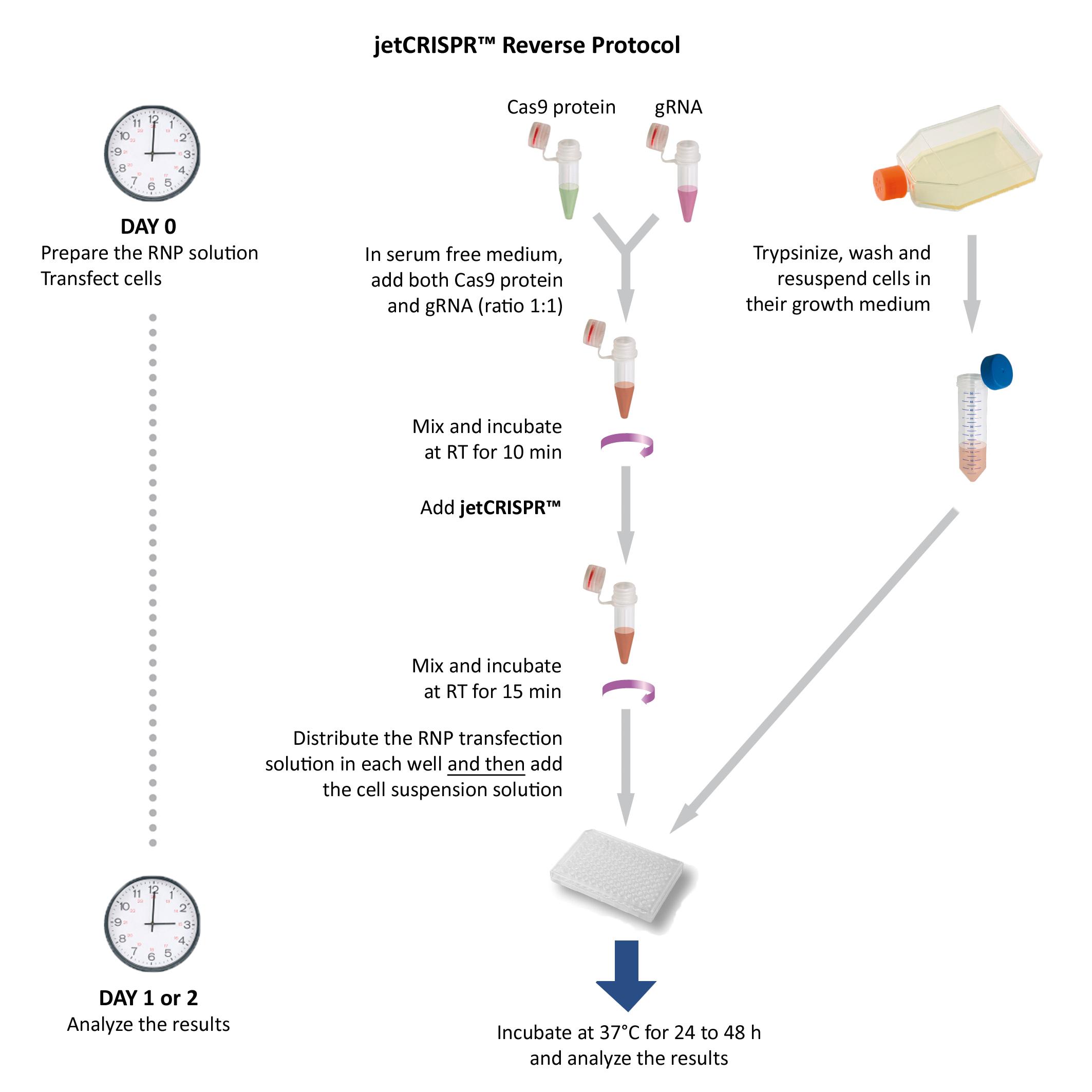 jejetCRISPR protocol - Reverse