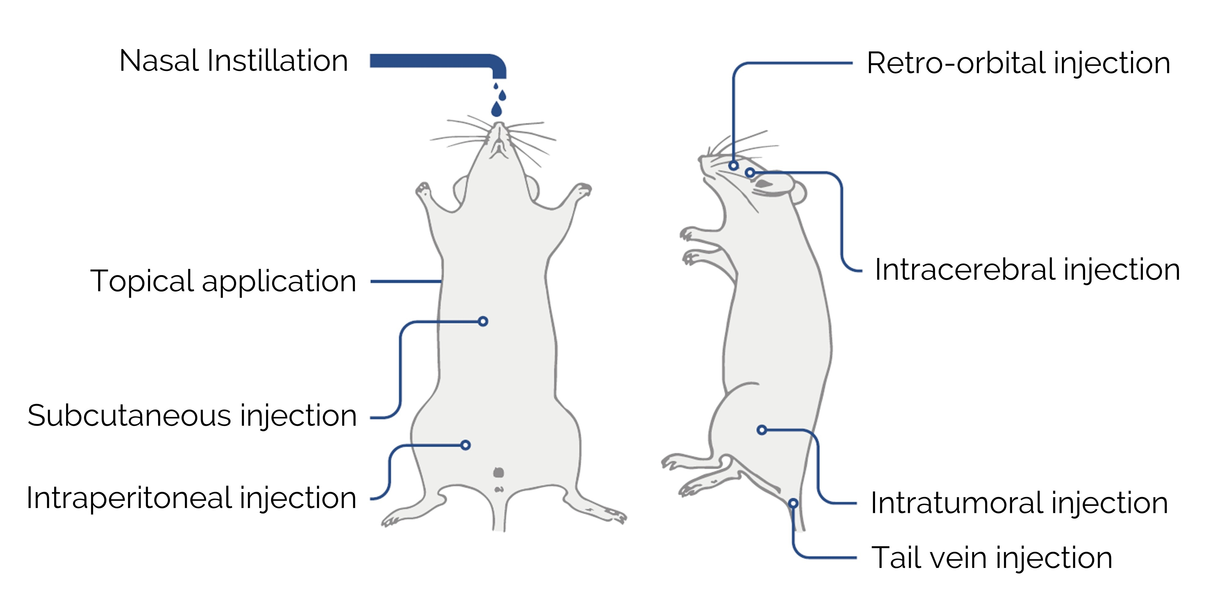 Example of mice administration routes using <em>in vivo</em>-jetPEI