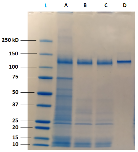 Figure 4: Qualitative analysis on SDS-PAGE reveals that clarified samples (A) contain a high quantity of impurities, including HCP. MabXpure™ resin used at ratio 1:5 (B) or 1:2.5 (C) allows a significant depletion of these impurities, without visible loss of IgG1. Protein A resin (D) purification shows a total depletion of impurities and a significant loss of IgG1. SDS-PAGE was performed using BioRad Criterion™ TGX™ system including Criterion™ Cell and Criterion™ TGX™ 4-15 % gels.