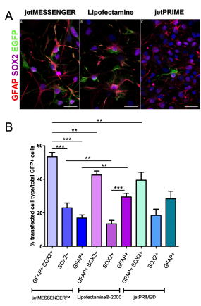 Fig 3. mRNA transfection using jetMESSENGER® targets preferentially both NSCs - and progenitors-derived neurospheres.