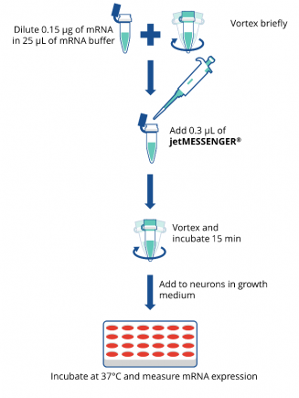 Easy-to-use jetMESSENGER® transfection protocol.